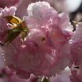 Photos: 楊貴妃桜