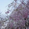 八重紅枝垂れ桜