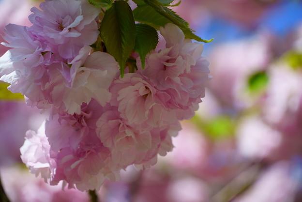 楊貴妃桜  緑の葉も可愛い^^