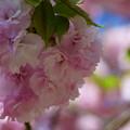 Photos: 楊貴妃桜  緑の葉も可愛い^^