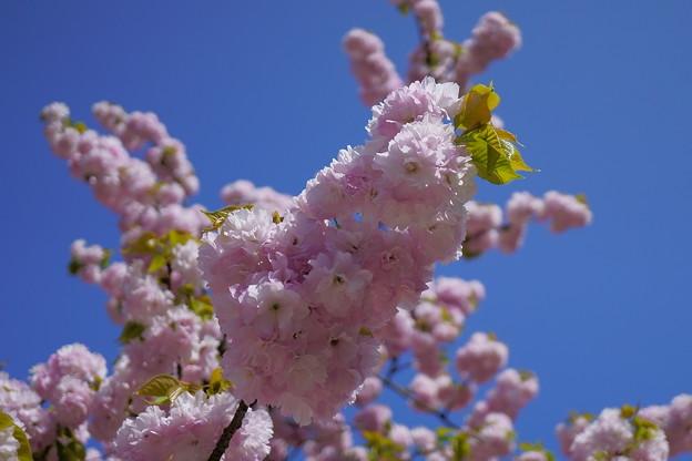 楊貴妃桜  緑の葉がおしゃれ^^