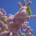Photos: 楊貴妃桜  緑の葉がおしゃれ^^