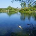 霞が池 鯉