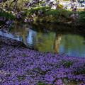 曲水と桜の絨毯