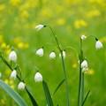 菜の花とスノーフレーク
