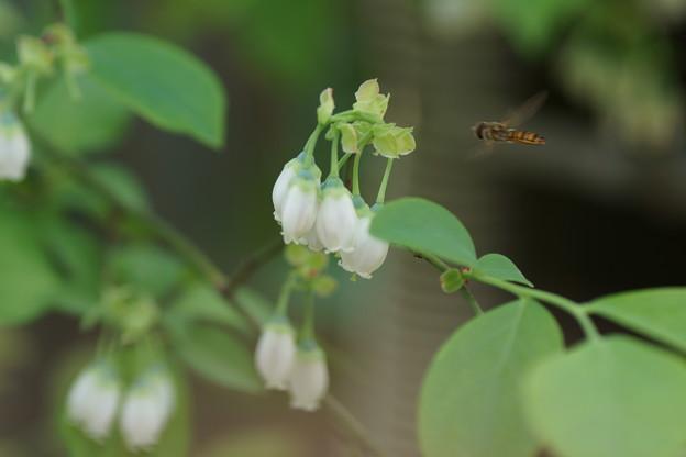ブルーベリーの花に     アブさん