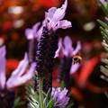 Photos: ミツバチ ブンブン