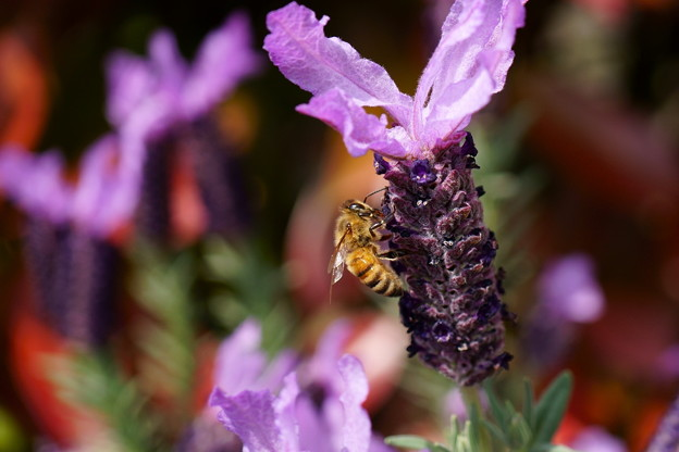 ラベンダーとミツバチ