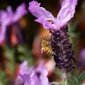 Photos: ラベンダーとミツバチ