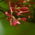 モミジの花 (プロペラ)