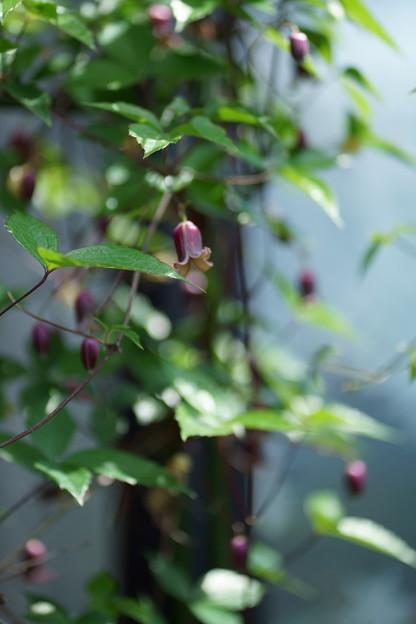 ベル咲きクレマチス (ハンショウヅル)1