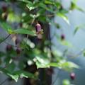 Photos: ベル咲きクレマチス (ハンショウヅル)1