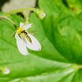 小さなユキノシタの花に ちっちゃなヒラタアブ