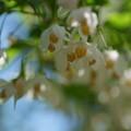 Photos: 鳥さんからのプレゼント エゴノキの花