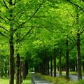 新緑のメタセコイアの並木道