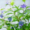 ヤマアジサイ  藍姫(3)