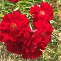 Photos: 真紅のバラ