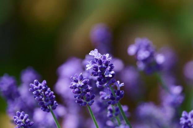 イングリッシュラベンダーが開花
