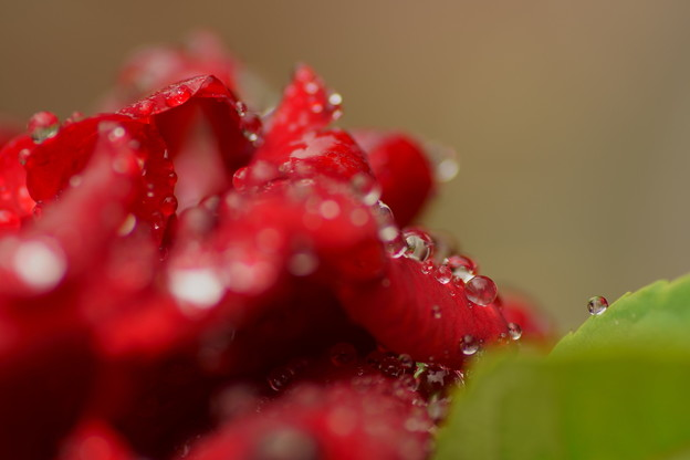 梅雨入り 薔薇の滴