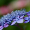 両性花が開花 ヤマアジサイ藍姫