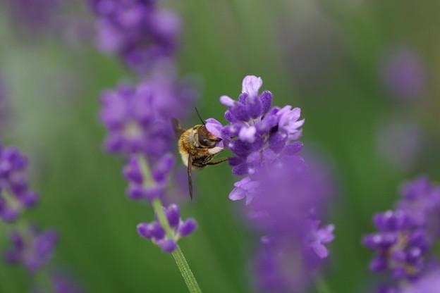 ×ラベンダーにミツバチさん(1) お仕事中