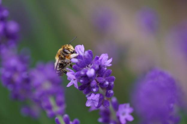 ラベンダーにミツバチさん お仕事中