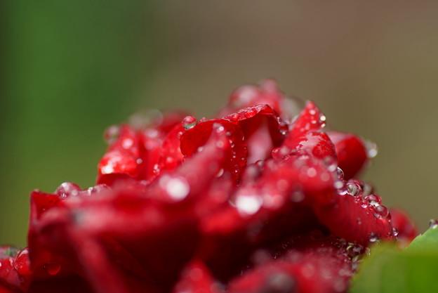 真紅のバラ しずく