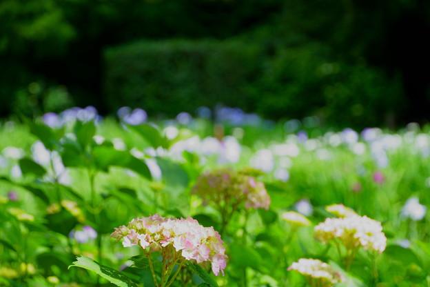 花菖蒲園の紫陽花