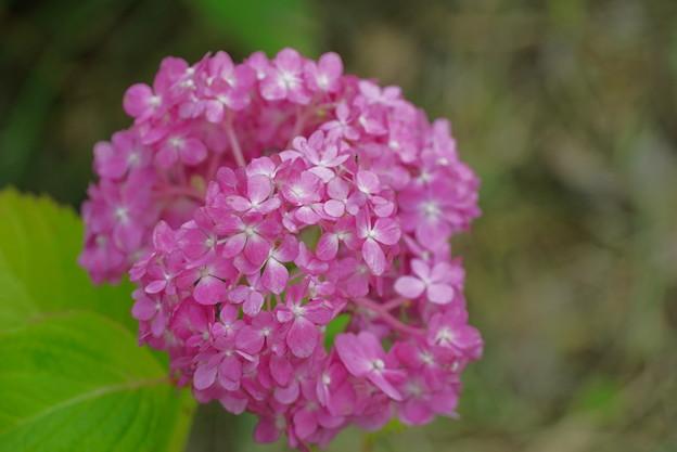 ピンクの手毬紫陽花