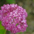 Photos: ピンクの手毬紫陽花