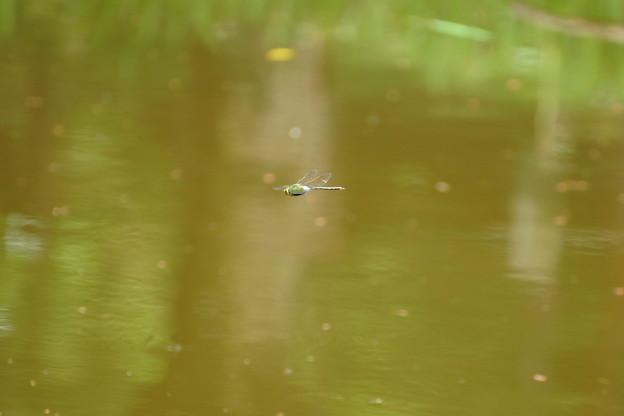 池のトンボ