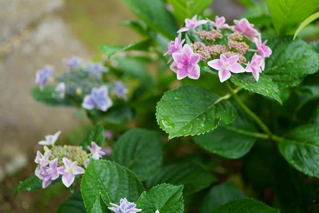 Photos: 紫陽花 コンペイトウ ブルーとピンクが同じ株から