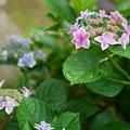 紫陽花 コンペイトウ ブルーとピンクが同じ株から