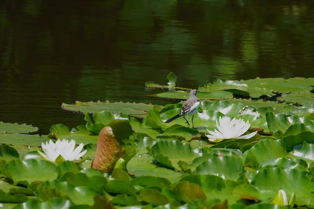 スイレンとセグロセキレイの若鳥