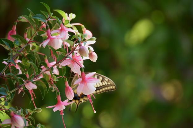 フクシア  蝶がかくれんぼ