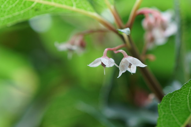 ヤブコウジの花(2)