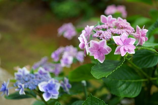 紫陽花 撮り納め