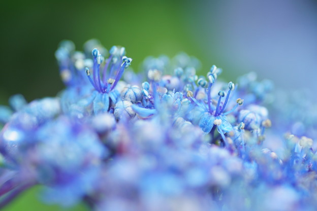 Photos: 紫陽花 両性花の蕊