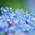 紫陽花 両性花の蕊