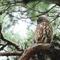 アオバズク  横目で 近くに巣穴があり監視しています。