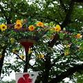 Photos: ヒマワリの野点傘