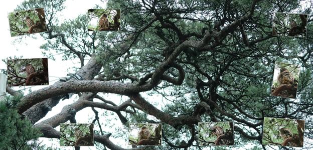 兼六園 アカマツの木とアオバズク