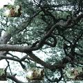 Photos: 兼六園 アカマツの木とアオバズク