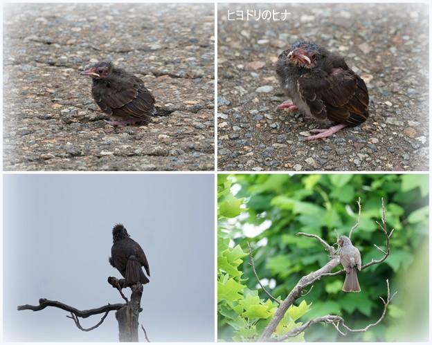 Photos: ヒヨドリ   ヒナ
