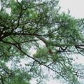Photos: 兼六園 赤松とアオバズク