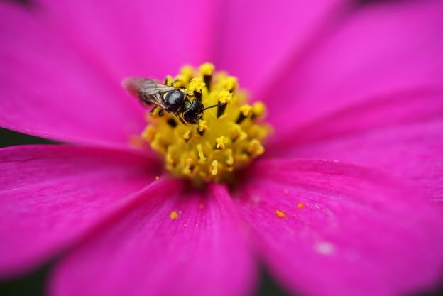 コスモスに蜂さん