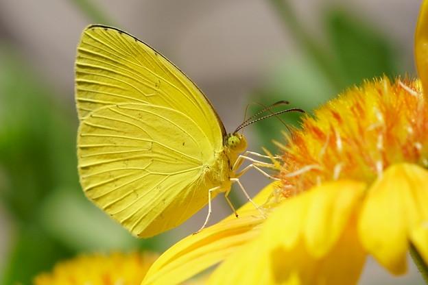 キチョウ 黄色が好き(^^♪