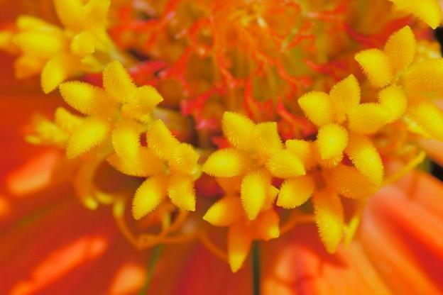 ヒャクニチソウ 筒状花