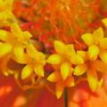 Photos: ヒャクニチソウ 筒状花