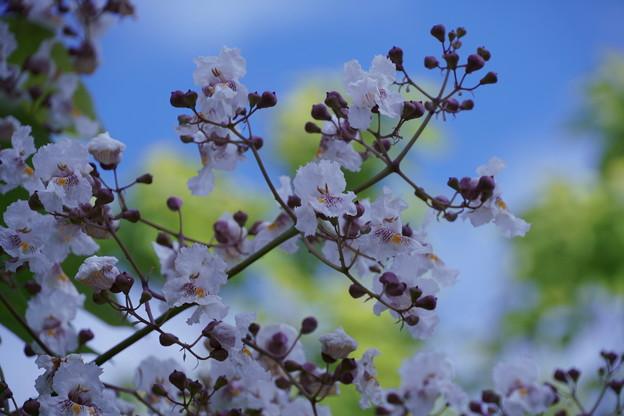 青空に桐の花